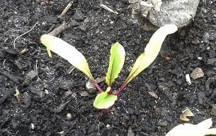 Beet seedling.