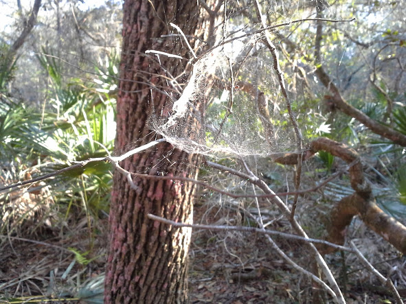 Cup-shaped spiderweb in the forest.