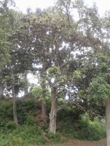 Big old magnolia tree.