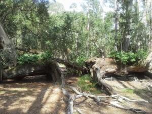 The Split Oak.