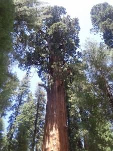 Sequoiadendron giganteum!